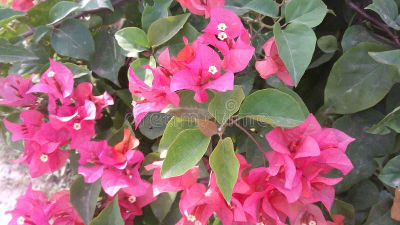 Blumenrosa gren stockfotografie