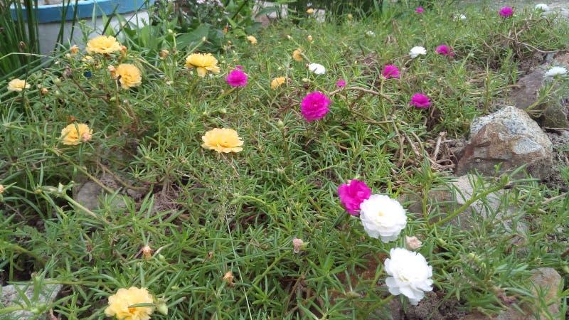 Blumenrosa, weißer, gelber Garten lizenzfreie stockbilder