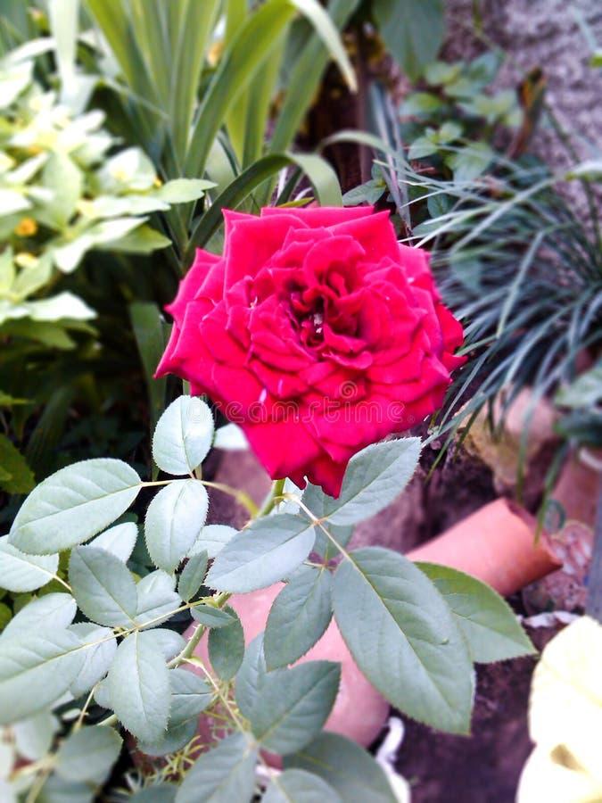 Blumenrosenrot stockbilder
