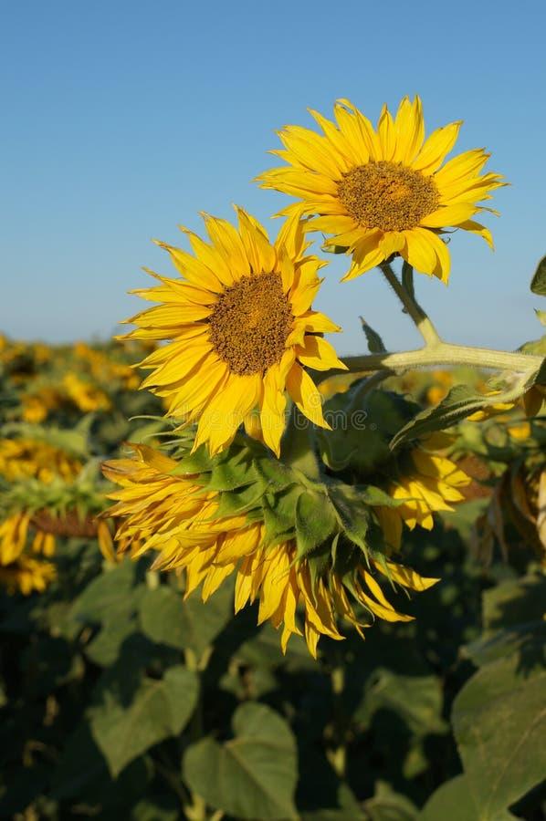 Blumensonnenblume stockbilder