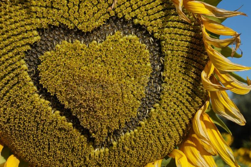 Blumensonnenblume lizenzfreie stockfotos