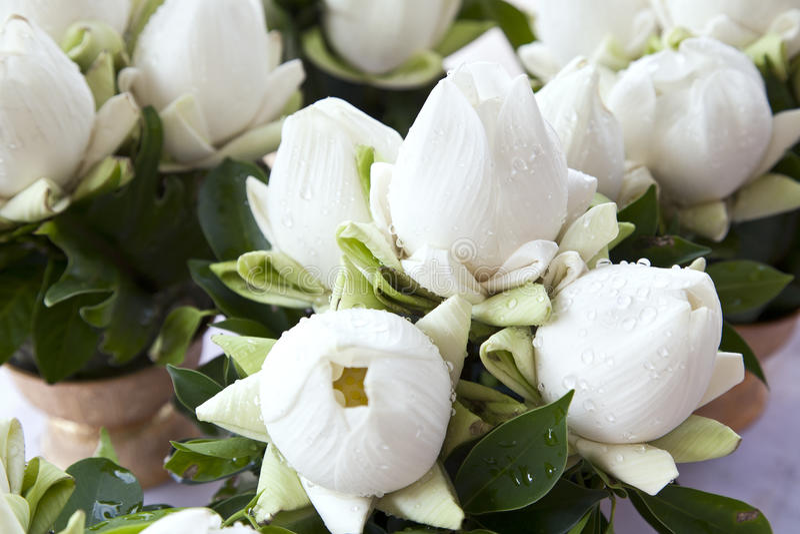 Blumensträuße des weißen Lotos lizenzfreies stockfoto