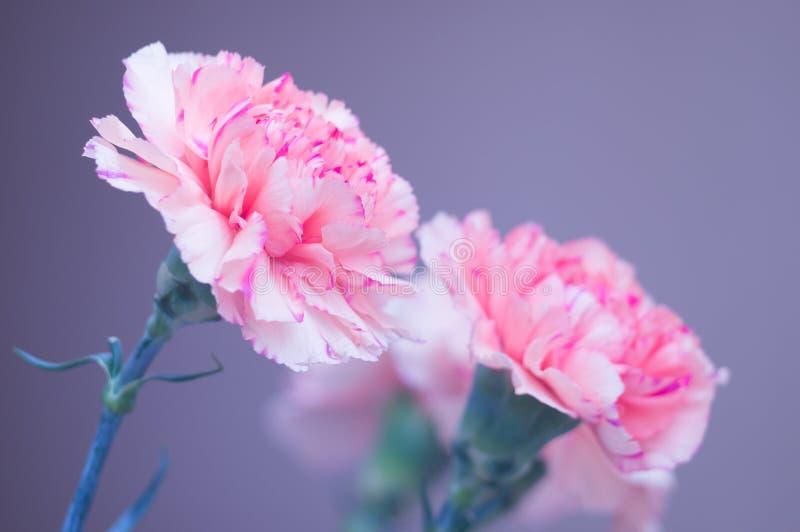 Blumenstrau? der Gartennelkennahaufnahme Rosa Blumen auf einem grauen Hintergrund Weicher Fokus Sch?ne Gru?karte f?r Ihre Gl?ckw? stockfotografie