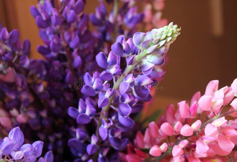 Blumenstrauß der lila und rosa Lupinennahaufnahme lizenzfreies stockfoto