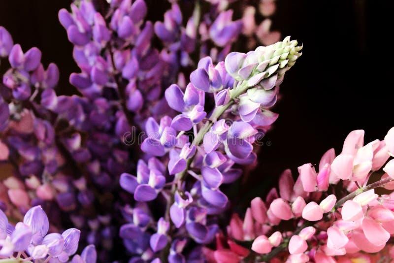 Blumenstrauß der lila und rosa Lupinennahaufnahme lizenzfreie stockfotos