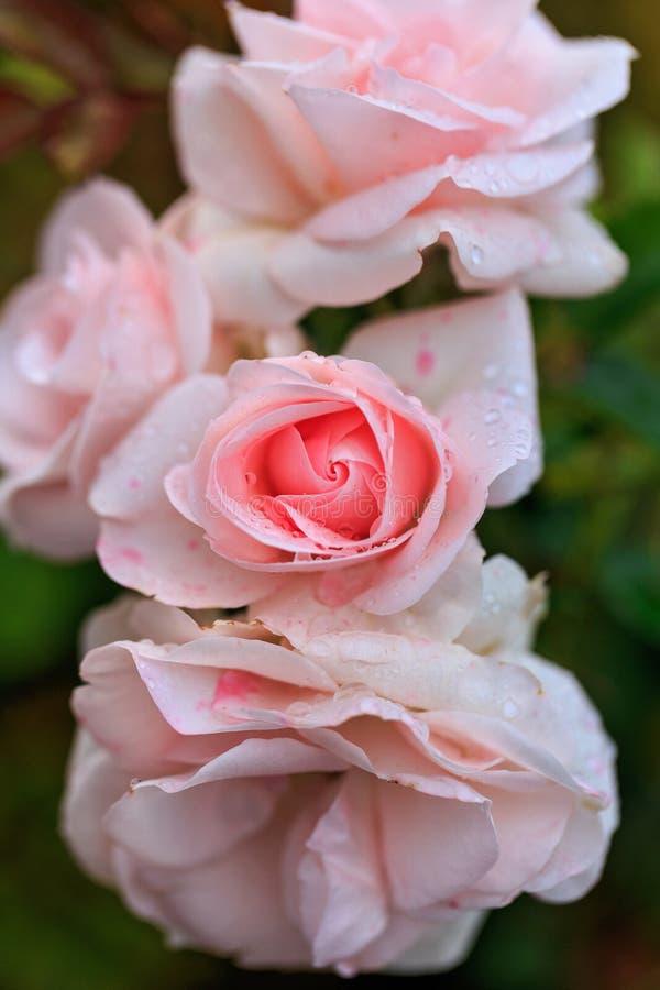 Blumenstrauß der rosafarbenen Blume im grünen Hintergrund stockbilder