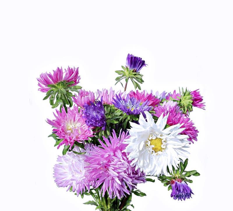 Blumenstrauß einiger bunter Astern lokalisiert lizenzfreie stockfotos