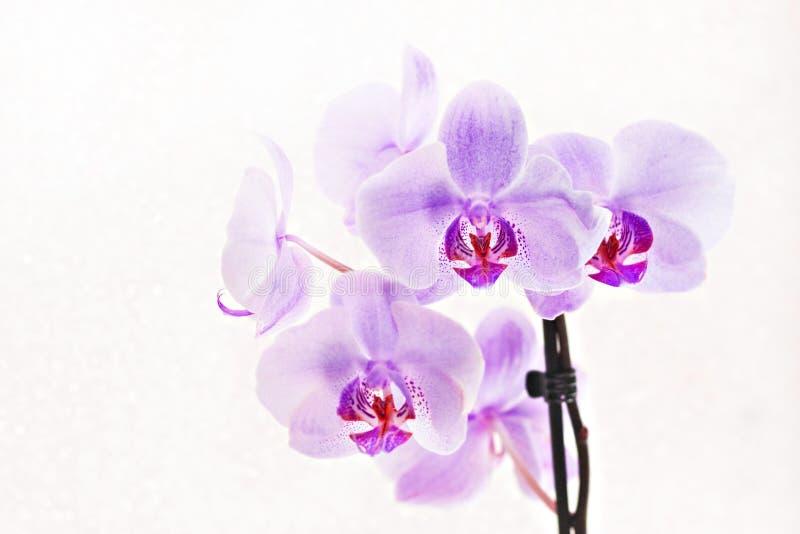 Blumenstrauß rosa Orchideen Phalaenopsis auf weißem Hintergrund stockbilder