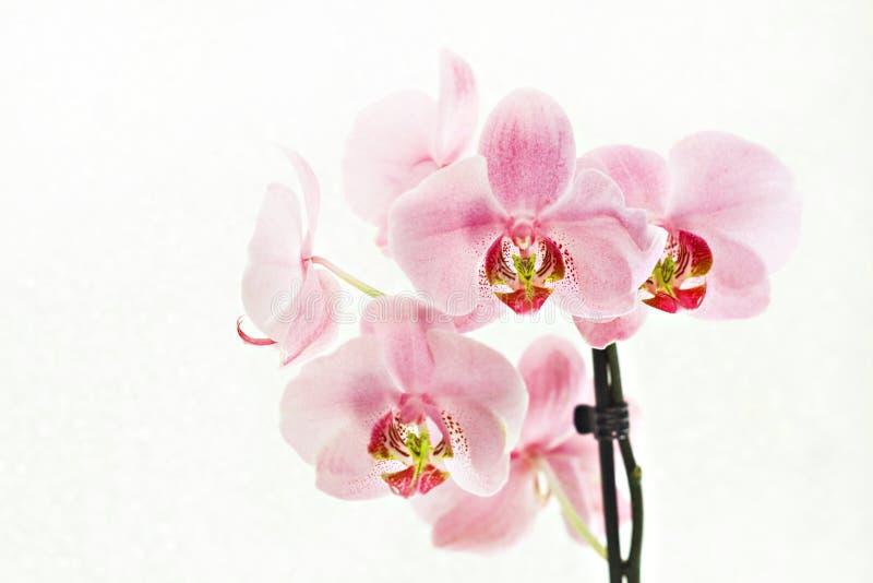 Blumenstrauß rosa Orchideen Phalaenopsis auf weißem Hintergrund stockbild