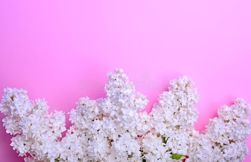 Blumenstrauß von blühenden Fliedern des Weiß auf einem rosa Hintergrund lizenzfreies stockfoto