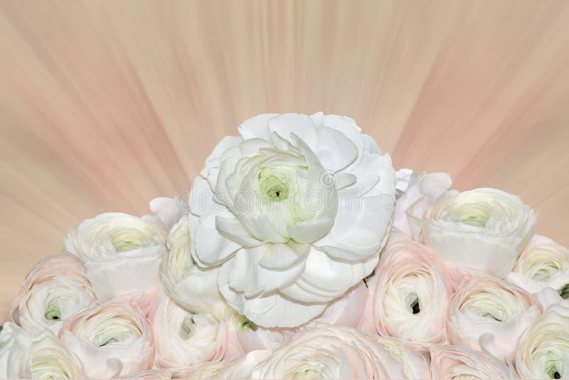 Blumenstrauß von blass-rosa und weißen Ranunculusblumen auf unscharfem rosa Hintergrund stockbild