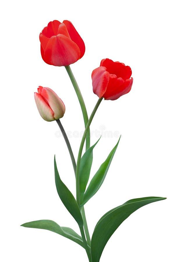 Blumenstrauß von den roten Tulpen lokalisiert auf weißem Hintergrund stockfoto