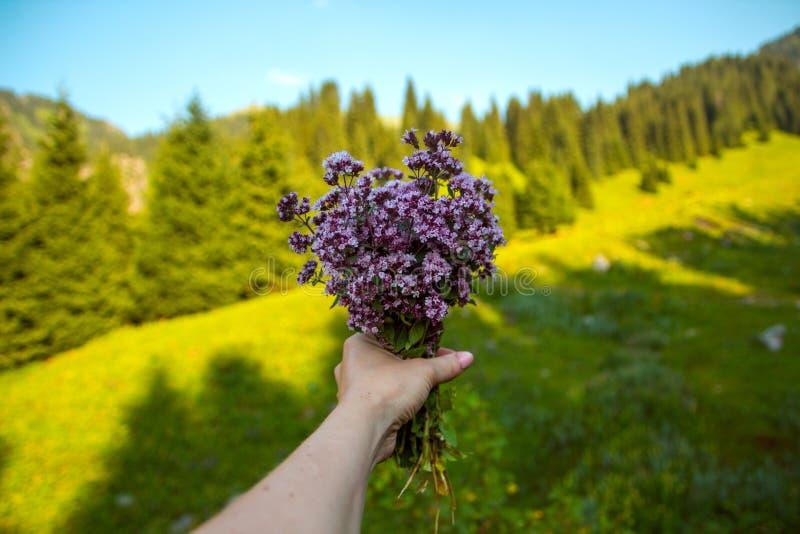 Blumenstrauß von Dosten in meiner Hand auf dem Gebirgshintergrund lizenzfreies stockfoto