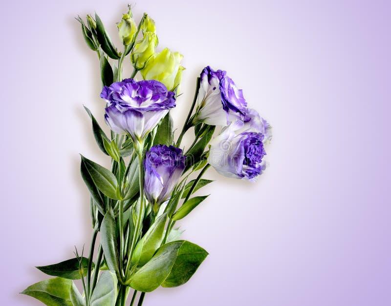 Blumenstrauß von Eustoma blüht auf einem zarten lila Hintergrund stockfotos