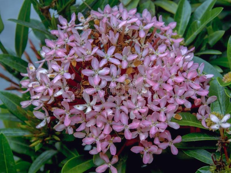 Blumenstrauß von exotischen rosa ixora Blumen stockfotos