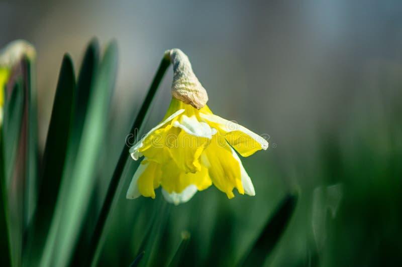 Blumenstrauß von Frühlingsnarzissen lizenzfreie stockbilder