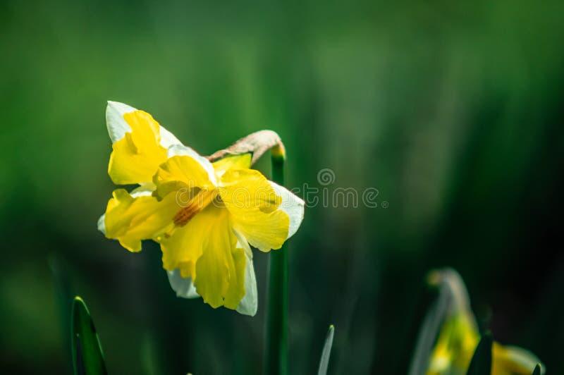 Blumenstrauß von Frühlingsnarzissen lizenzfreies stockfoto