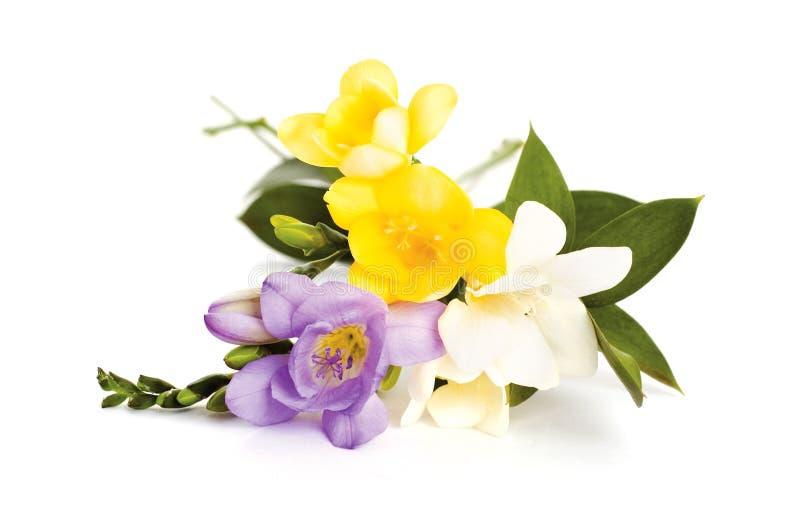 Blumenstrauß von Freesia stockfoto