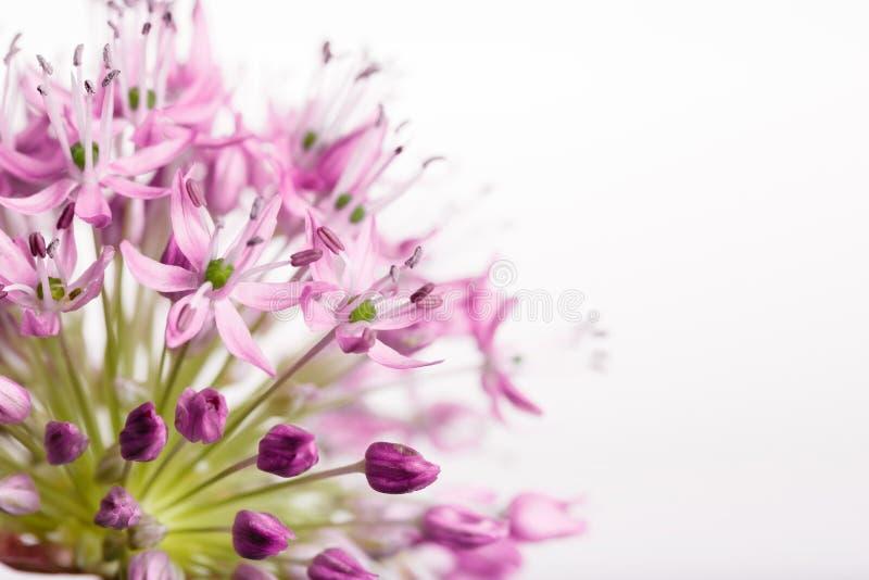 Blumenstrauß von frischen Frühlingsblumen, kleine Lilienblumen, dekorative Zwiebelbälle, lokalisiert auf einem weißen Hintergrund stockfoto