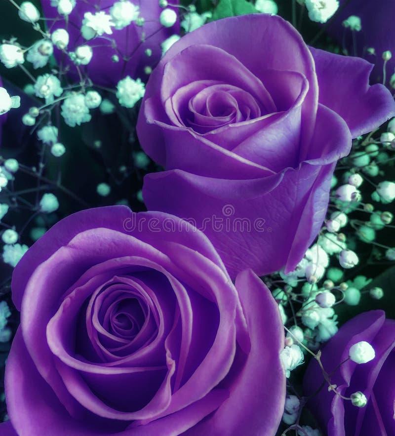 Blumenstrauß von frischen ultravioletten Rosen mit kleinen hellen Blumen stockfotos