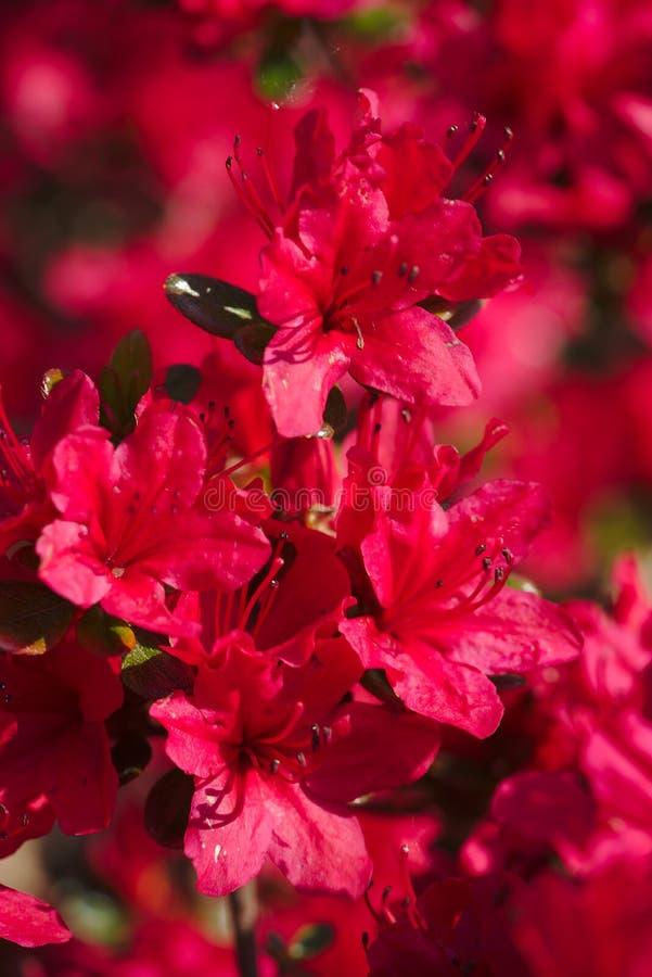 Blumenstrauß von japanischen Azaleen des Frühlinges lizenzfreies stockfoto