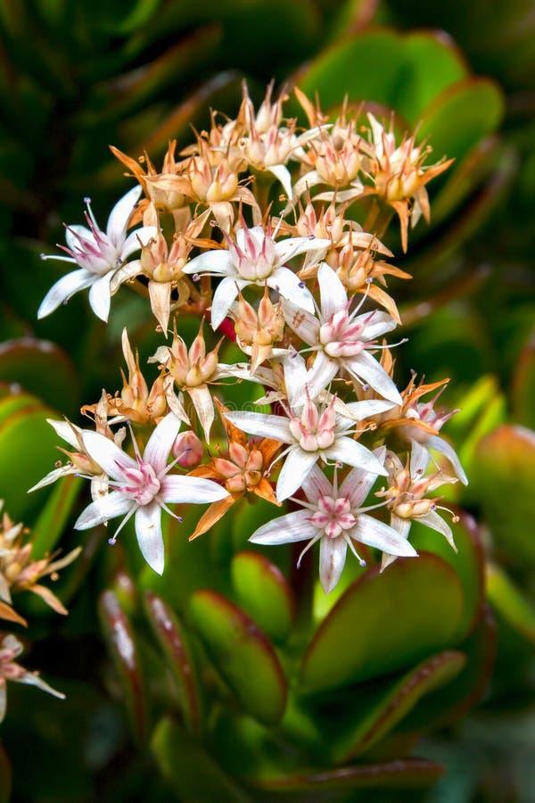 Blumenstrauß von kleinen Jadebetriebsblumen lizenzfreies stockbild
