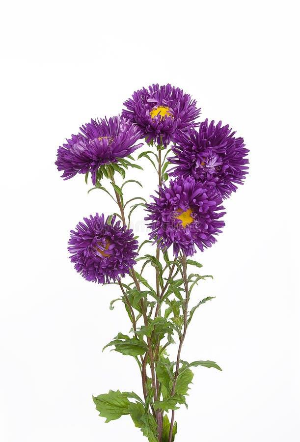 Blumenstrauß von purpurroten Astern blüht auf einem lokalisierten weißen Hintergrund stockbild