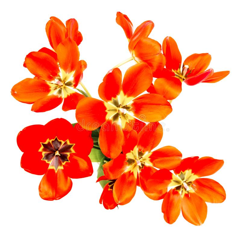 Blumenstrauß von roten Tulpen mit den offenen Knospen lokalisiert auf weißem Hintergrund stockbilder