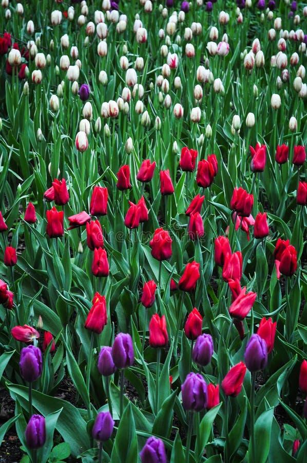 Blumenstrauß von Tulpen Bunte Tulpen Tulpen im Frühjahr, bunte Tulpe stockbild