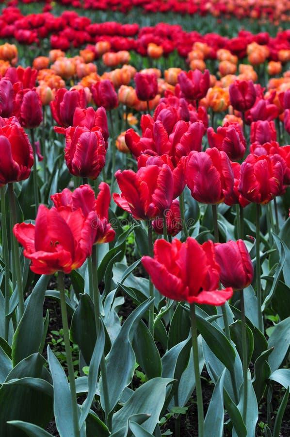 Blumenstrauß von Tulpen Bunte Tulpen Tulpen im Frühjahr, bunte Tulpe stockfotos