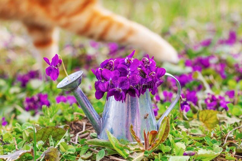 Blumenstrauß von Waldblumenveilchen in einer Zinngießkanne auf einer Blumenwiesen-Nahaufnahme- und Tatzeningwerkatze lizenzfreie stockfotos