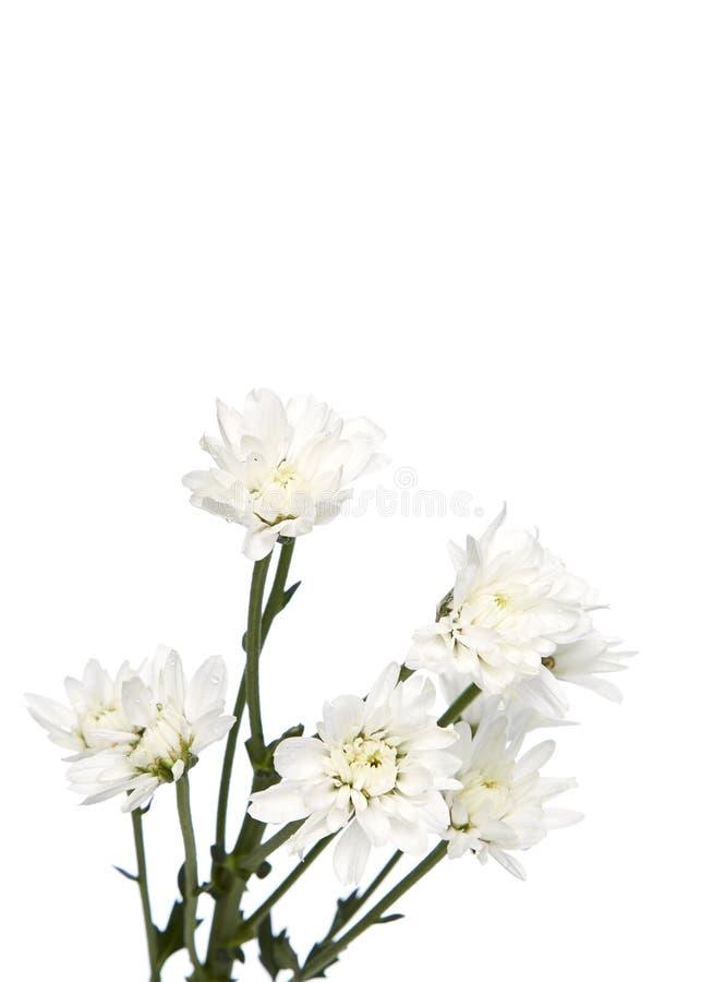 Blumenstraußweißchrysanthemen stockbilder