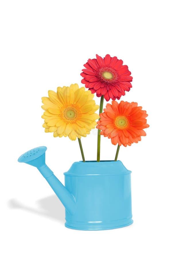 Blumenstrauß Gerberablumen in der blauen Gießkanne stockbilder