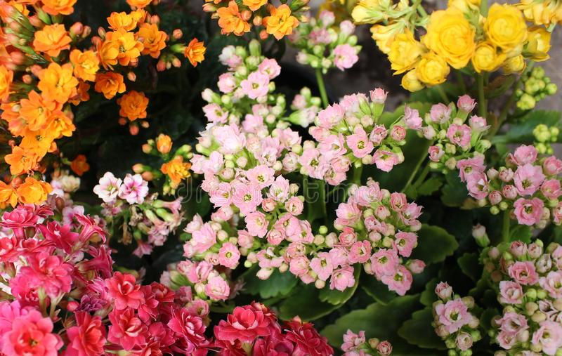 Blumenstrauß von kleinen Blumen der kalanchoe Anlage lizenzfreie stockfotos