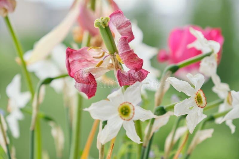 Blumenstrau? von den verbla?ten Fr?hlingsblumen, von Tulpen und von wei?en Narzissen oben getrocknet stockfotos