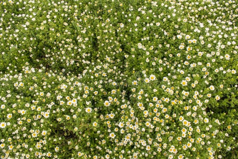 Blumenteppich Süße kleine weiße Kamillenblumen stockfotografie