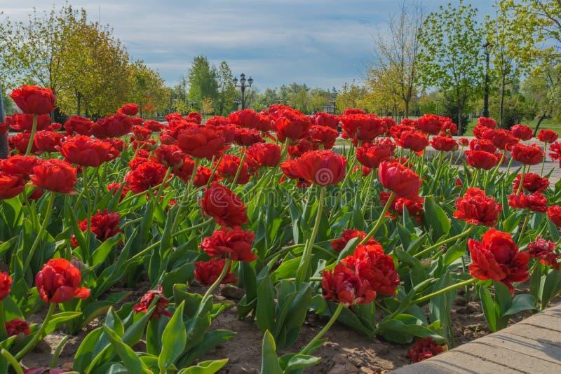 Blumenterry-Tulpen im Fr?hjahr im Park stockfotos