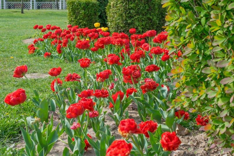 Blumenterry-Tulpen im Fr?hjahr im Park lizenzfreies stockfoto