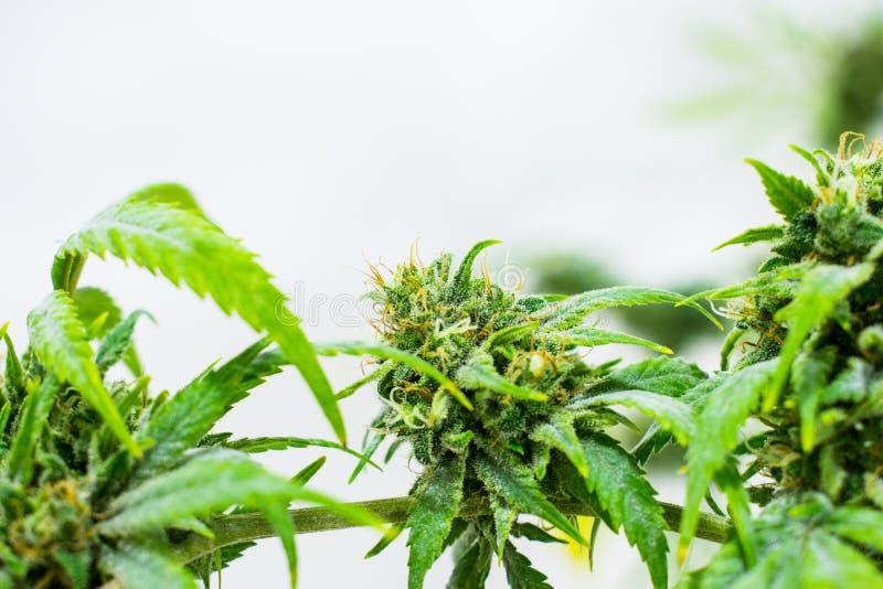 Blumentopf-oder Marihuana-Knospe auf Hanf-Bauernhof stockfotografie
