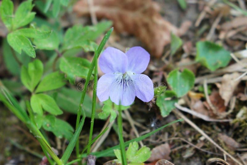 Blumenveilchen stockfoto