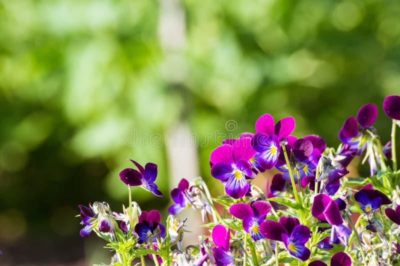 Blumenviola im Sommergarten lizenzfreies stockbild