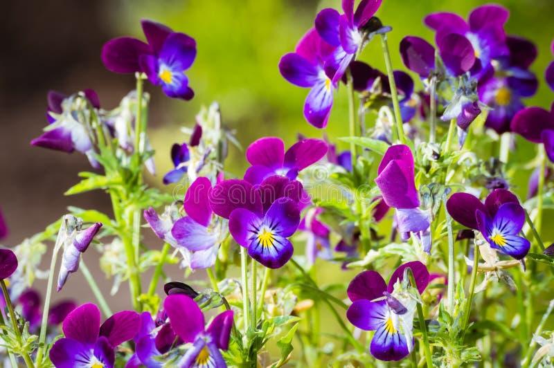 Blumenviola im Sommergarten stockbild