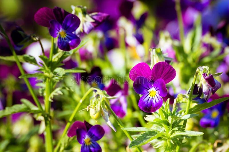 Blumenviola im Sommergarten stockfotos
