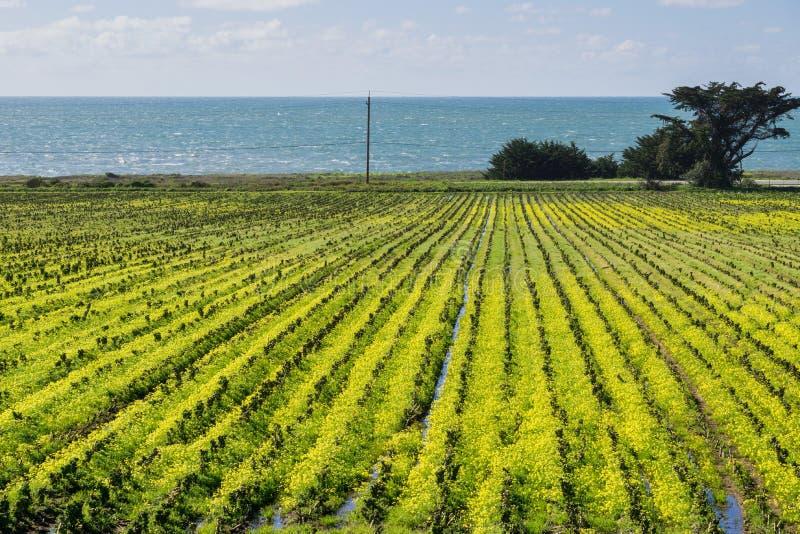Blumenwachsen des wilden Senfes auf Ackerland, Küste des Pazifischen Ozeans, Montara, Kalifornien lizenzfreie stockbilder