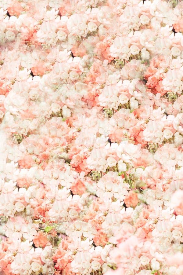 Blumenwandhintergrund mit dem Überraschen von rosa weißen Pastellrosen, Heiratsdekoration, handgemacht Mit Blumen, Farbe stockbilder