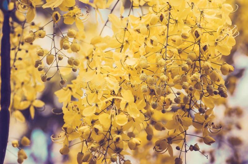 Blumenweinlese goldene Dusche oder der Kassiefistel lizenzfreie stockbilder