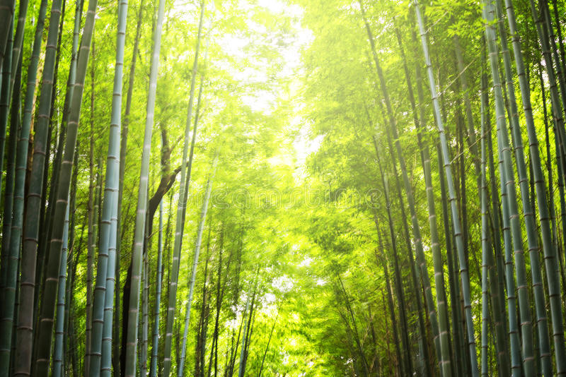 blur abstract of bamboo forest stock photo