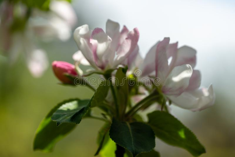 Blur close-up of white and pink apple tree flowers on light background. Bright sunny spring theme for any design stock photos
