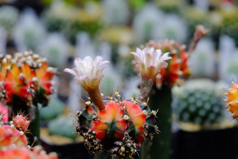 Mammillaria cactus with a sweet pink flower blossom in a pot royalty free stock photography