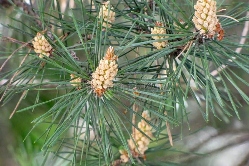 Blured de close-up groene pijnboom met jonge kegels achtergrond royalty-vrije stock afbeeldingen